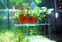 そのまま使える便利な鉢入りの水草で水槽を簡単レイアウト