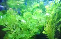 水草・浮き草はメダカ飼育の必需品