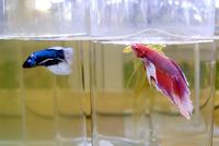 人気熱帯魚「ベタ」の水槽用ヒーター登場