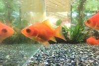 福を呼ぶ金魚「福だるま」と金魚にオススメの水草