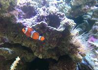 イソギンチャクや熱帯魚を美しい海水の水槽で