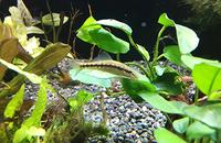 魚も喜ぶ水槽の中の水草やアク抜き流木