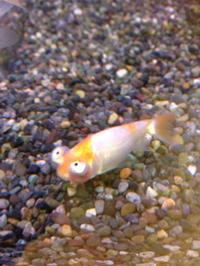 ユニークな金魚