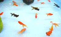 《終了しました》 8月11日(金・祝)~13日(日) 「金魚すくい」 開催!