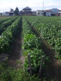 はつみを入れた篠山の黒豆の畑です。