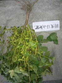 いよいよ黒豆枝豆の収穫がありました。