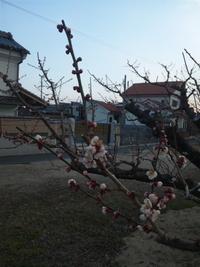 京都城陽の梅園で、梅のつぼみがほころびはじめましたよ。