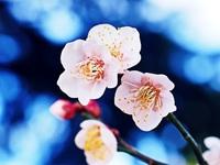 梅の花を撮る