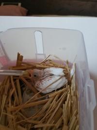 【我が家の白文鳥】