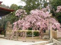 弓弦羽神社で♪さくら~さくら~♪