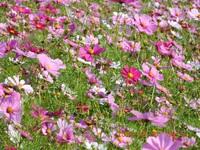 秋桜 cosmos flowers