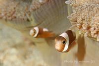 まだちっちゃくてかわいいクマノミLittle saddleback anemonefish