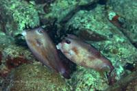 フグがチュッ☆kissing blowfish