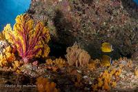 黄色のサンゴに魚たち Yellow corals & fish