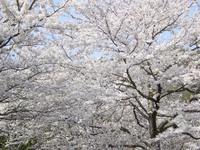 日本の極み:桜