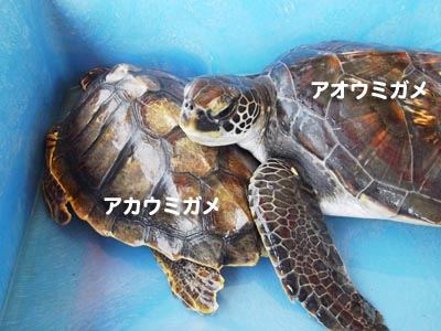 アオウミガメの画像 p1_10